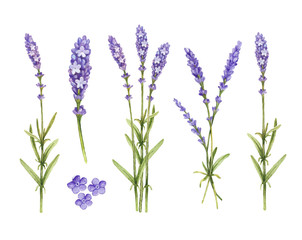 Lavender flowers collection. Watercolor illustrations