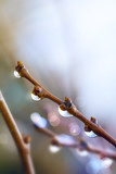 Art beautiful spring tree branch with rain drops