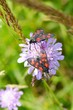 Knautia arvensis (Field Scabious) with insect