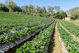 Strawberries farm at Chiangmai Thailand