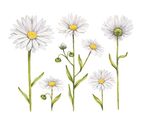 Camomile flowers collection. Watercolor illustrations
