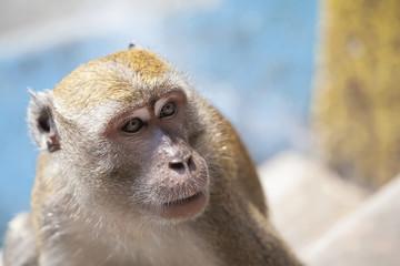 Macaque Monkey Closeup