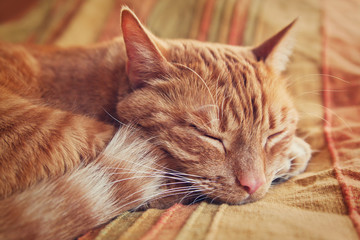 red tabby cat curled up sleeping