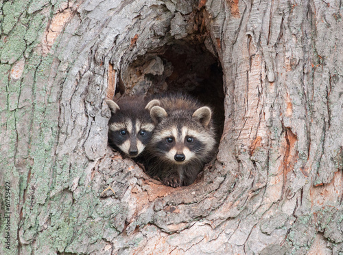 Raccoon Siblings