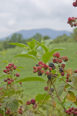 Blackberries Growing in the Mountains