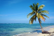 Coconut tree on Caribbean sandy beach