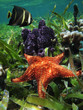 Underwater starfish with sponge and an angelfish