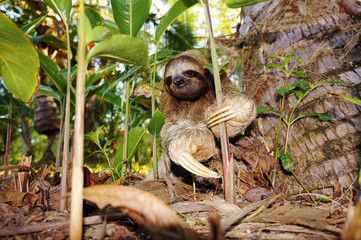 Three-toed sloth on the ground