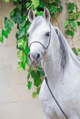 Portrait of gray purebred arabian stallion