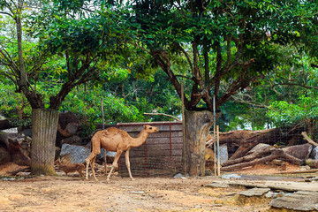 Camel walking in the zoo.