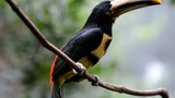 Crested Aracari - perched on the tree branch high def video