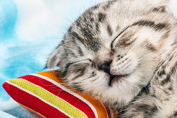 Scottish Fold kitten sleeping on a pillow