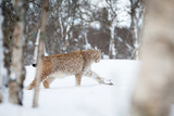 Lynx sneaks in the snow