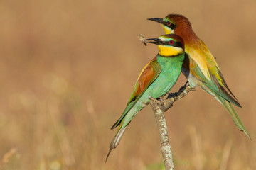 two bee-eaters
