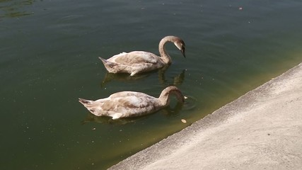 two swimming swans