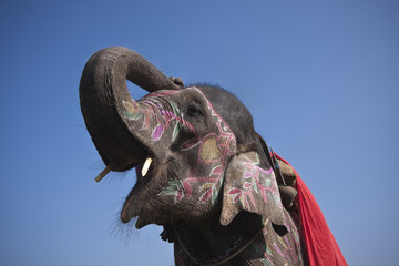 Close up of elephant head in blue background