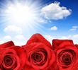 Dewy Rose