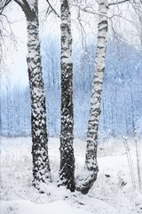birch trees in winter landscape