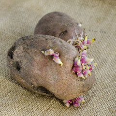 potato sprouts isolated on bag background