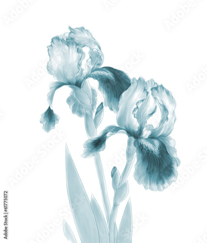 Iris Flowers Isolated on White Background