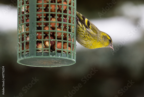 Male Greenfinch Eating Nuts