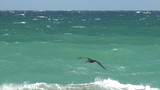 Brown pelican flying over the waves in Florida
