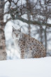 Lynx sitting in the snow a cold winter