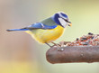 The Blue Tit (Cyanistes caeruleus) on a bird table. - 61778450