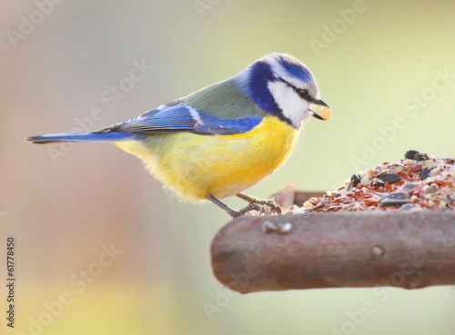 The Blue Tit (Cyanistes caeruleus) on a bird table.