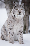 Proud lynx sitting in the snow