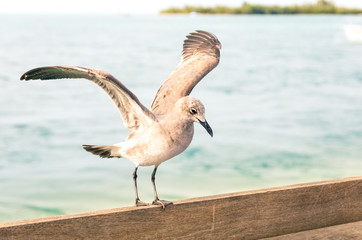 Seagull landing on a wooden fence at Key West pier - Miami Flori