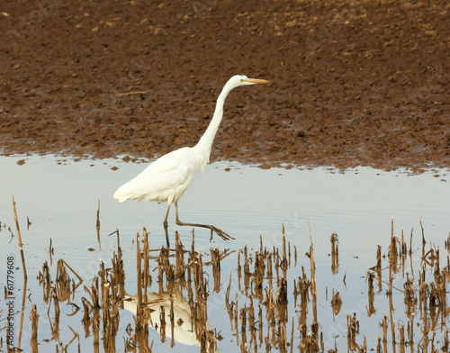 An Egret Hunts for Fish in a Marsh