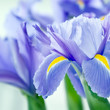 canvas print picture - Iris 10494.jpg