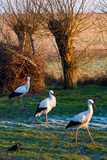 Three storks walking on a winter field