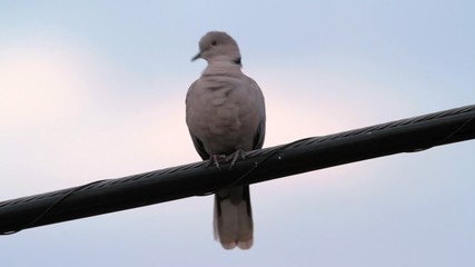 Eurasian Collared Dove perched on a wire
