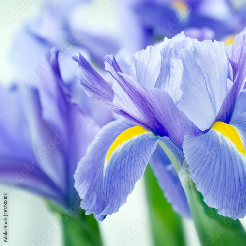 canvas print picture Iris 10494.jpg