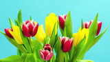 Easter spring Tulips blooming on chroma blue screen