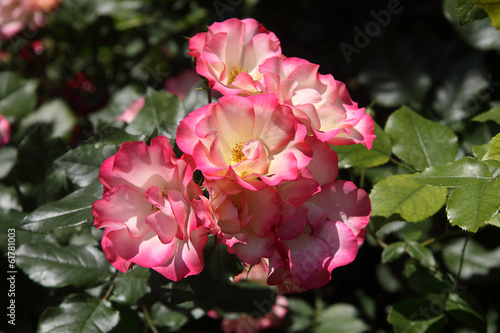 canvas print picture Rose rosa al sole