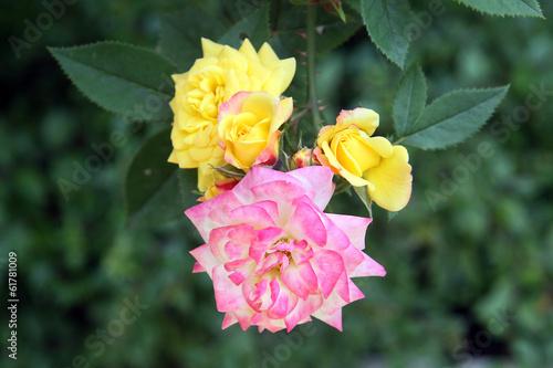 Rose gialle e rosa