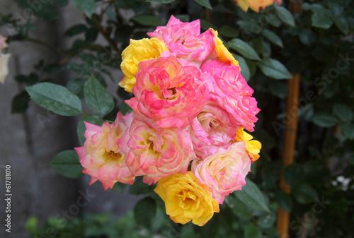 Rose gialle e rosa in giardino
