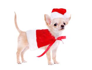 Chihuahua puppy wearing christmas fancy dress