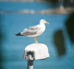 The Black Sea gull