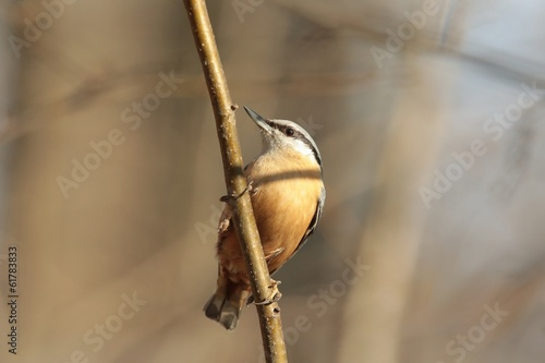 Nuthatch (Sitta europaea) captured twig in the sunshine