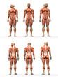 Anatomische Studie Maskulin