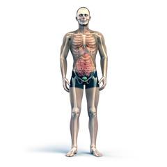 Anatomische Studie Menschlicher Körperbau
