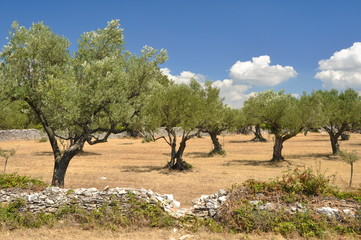 Olivehain in Kroatien