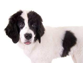 Schwarz-weisser Hundewelpe
