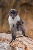 Portrait of sooty mangabey