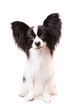 Beautiful papillon dog sitting on isolated white