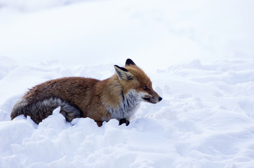 Volpe nella neve